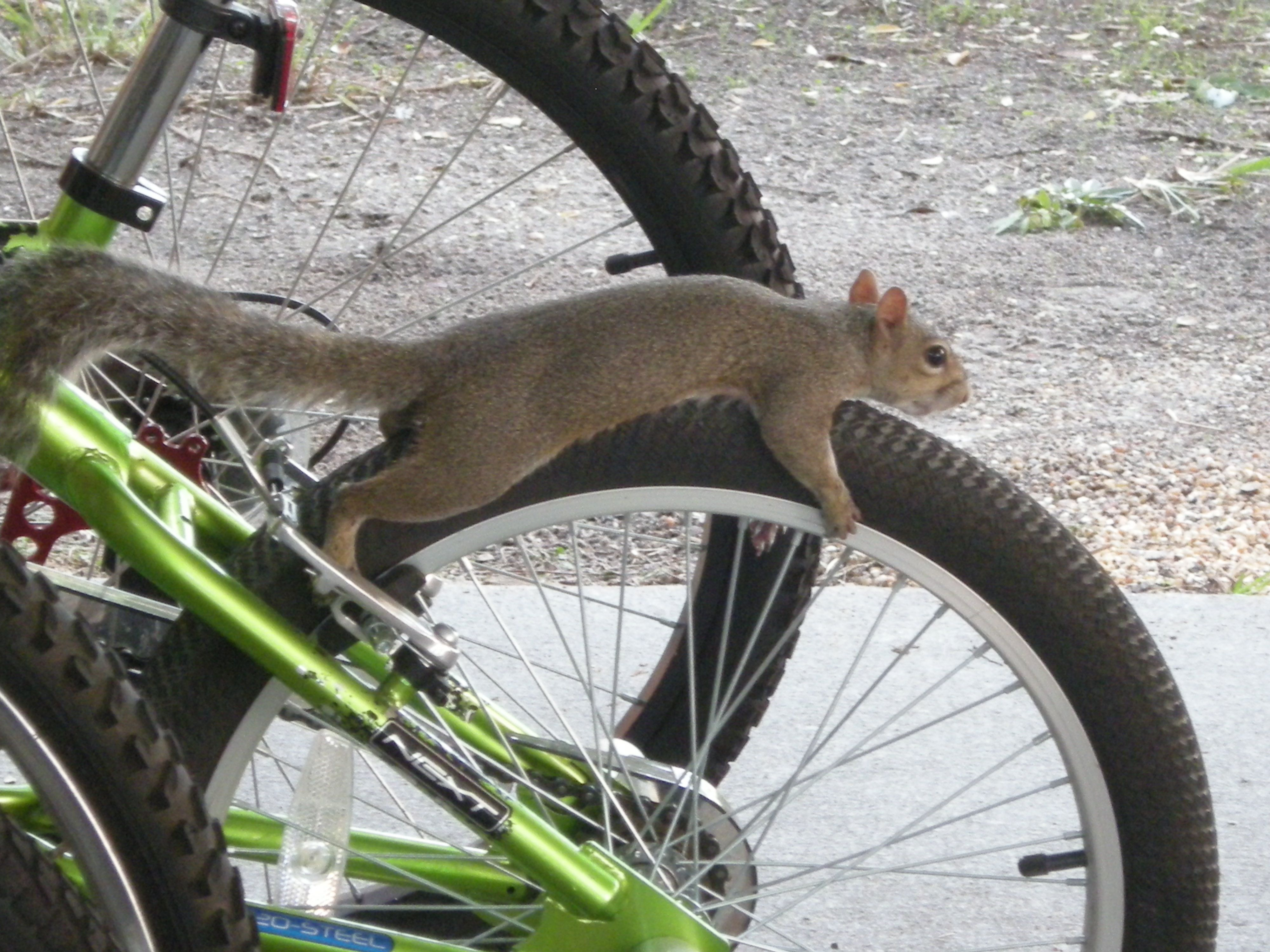 Rocky The Squirrel Ready For A Bike Ride Photography And Videos