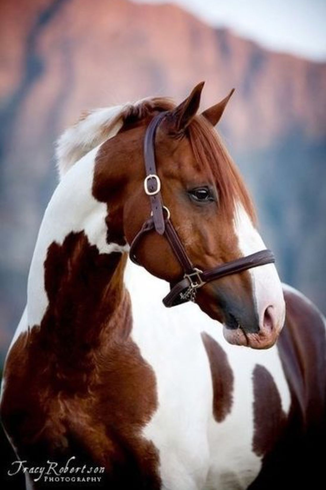 Handsome chestnut and white pinto horse. (Tracy Robertson ... - photo#35