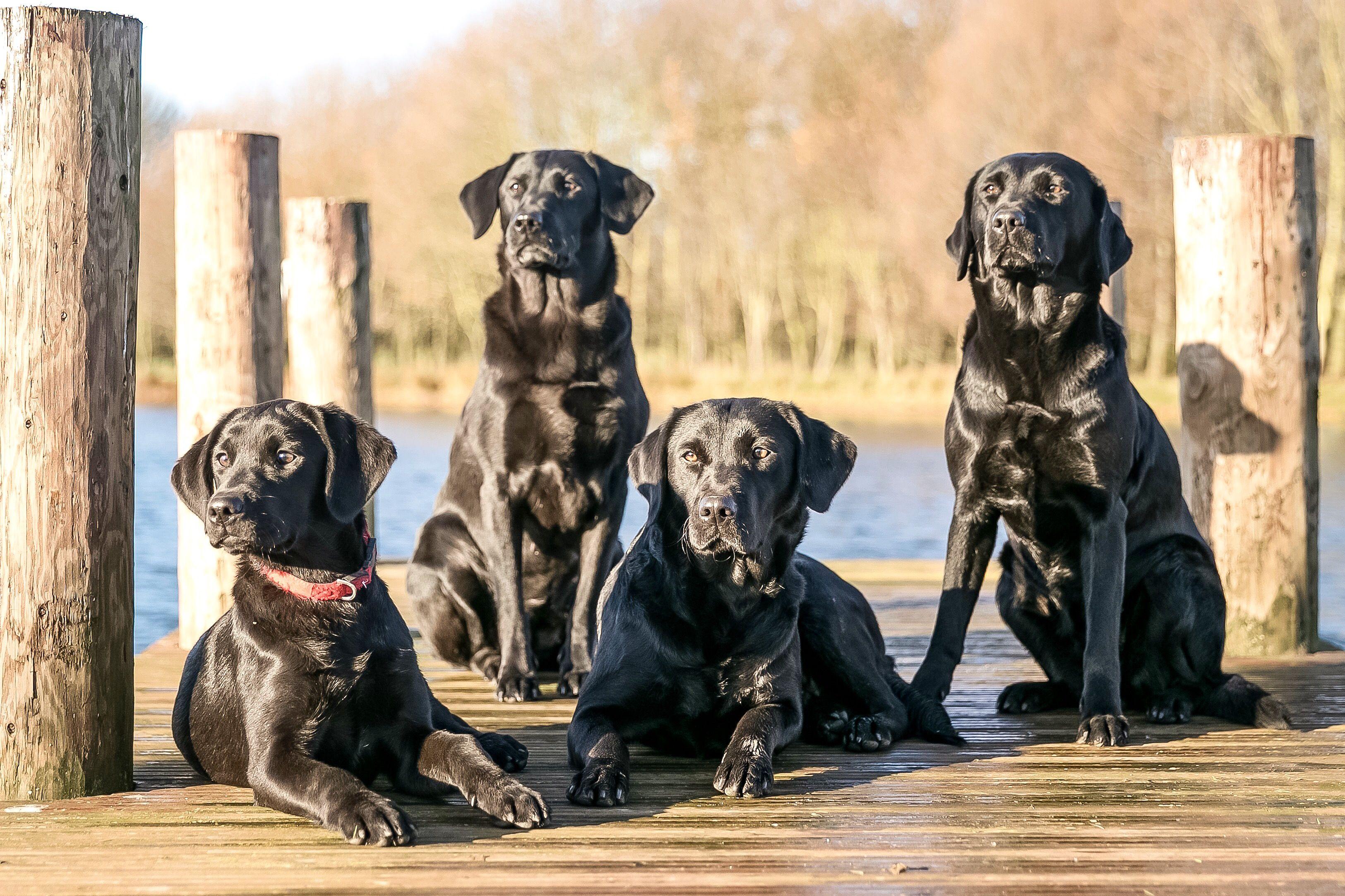 4 Black Labradors Black labrador, Dog photography, Labrador