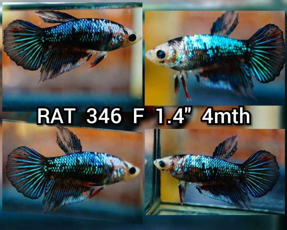 Betta Fish Betta Fish Ideas Bettafish Fishbetta Live Fish Blue Metallic Female Betta Coastgemusa 25 00 End Date Tuesday Feb Betta Live Fish Betta Fish