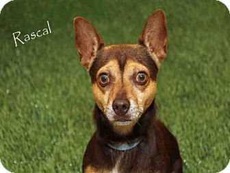 Fort Myers Fl Chihuahua Mix Meet Rascal A Dog For Adoption