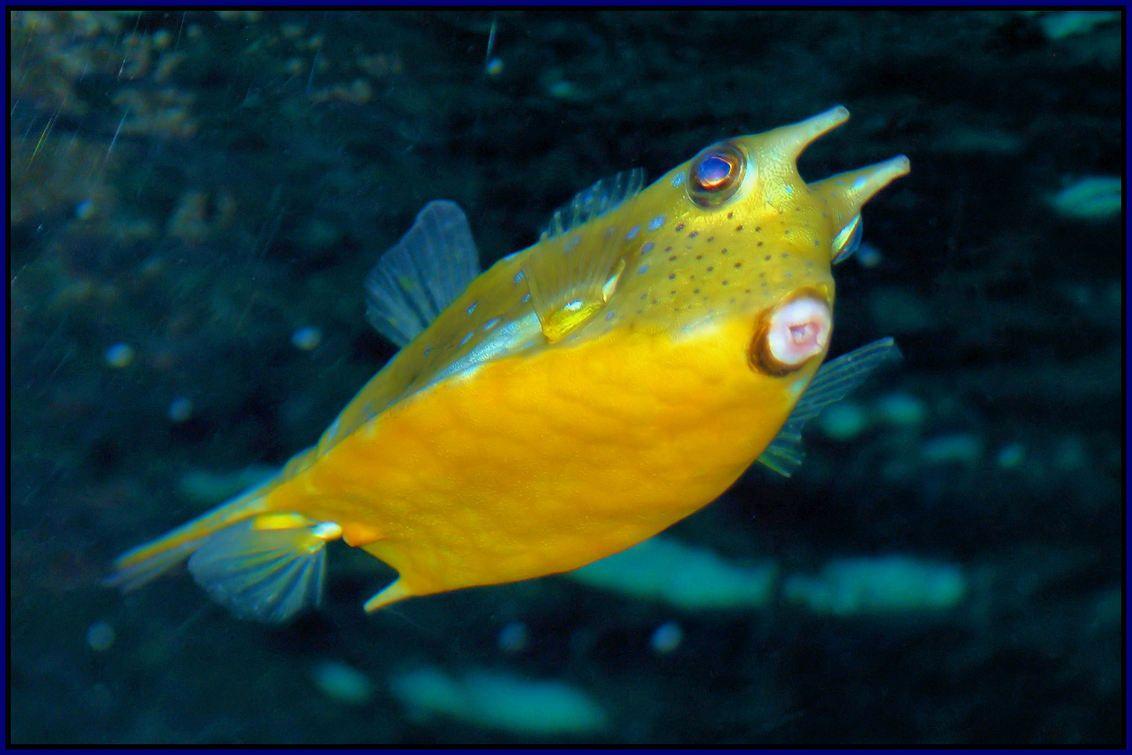 Gehoornde Koffervis Fish Pet Pets Animals