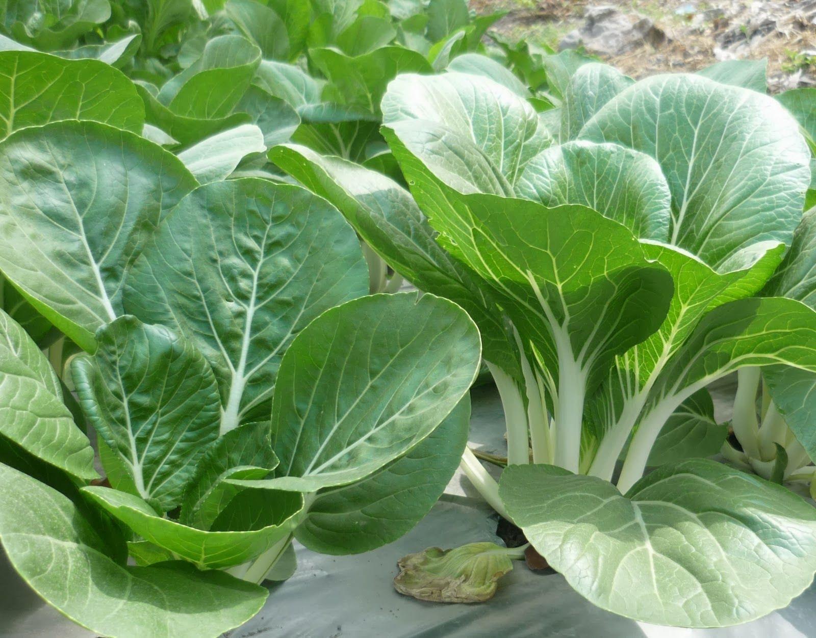 Artikel Sayuran Organik Tips Dan Trik Sawi Kolom Benih Bibit Herbs Catnip Common Haira Seed Cap Vegetables Blogging