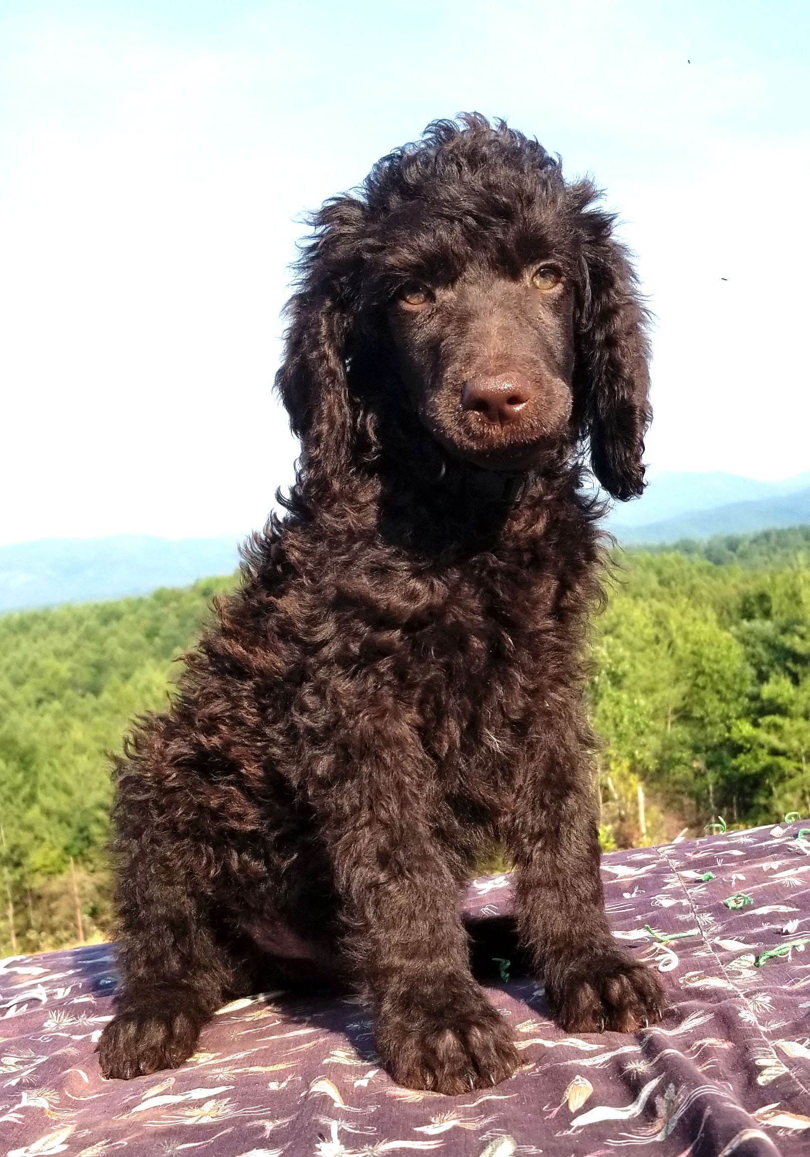 Chocolate Parti Chocolate Parti Roxy Poodle Puppies For Sale