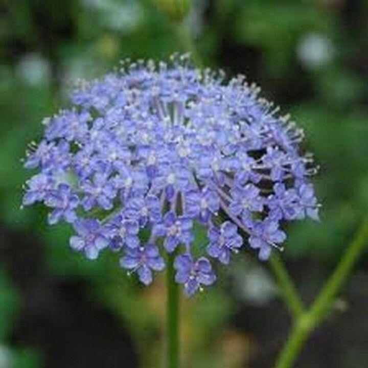 Blue Lace Flower Didiscus Caeruleus Stauder Blomster Bla