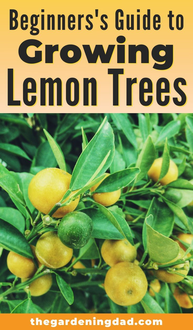 Photo of 18 EASY Tips to Grow Lemon Trees in Pots