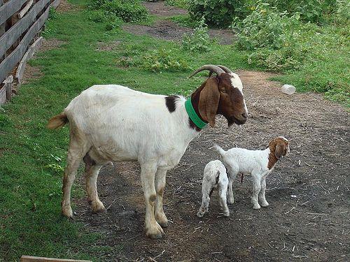 Medicinas a base de leche de cabra Los científicos del Instituto Vulcani en Beit Dagan desarrollaron un método para producir una medicina basada en la leche de cabra. Esta leche contiene una albúmina que ayuda al tratamiento de la hipertensión arterial.