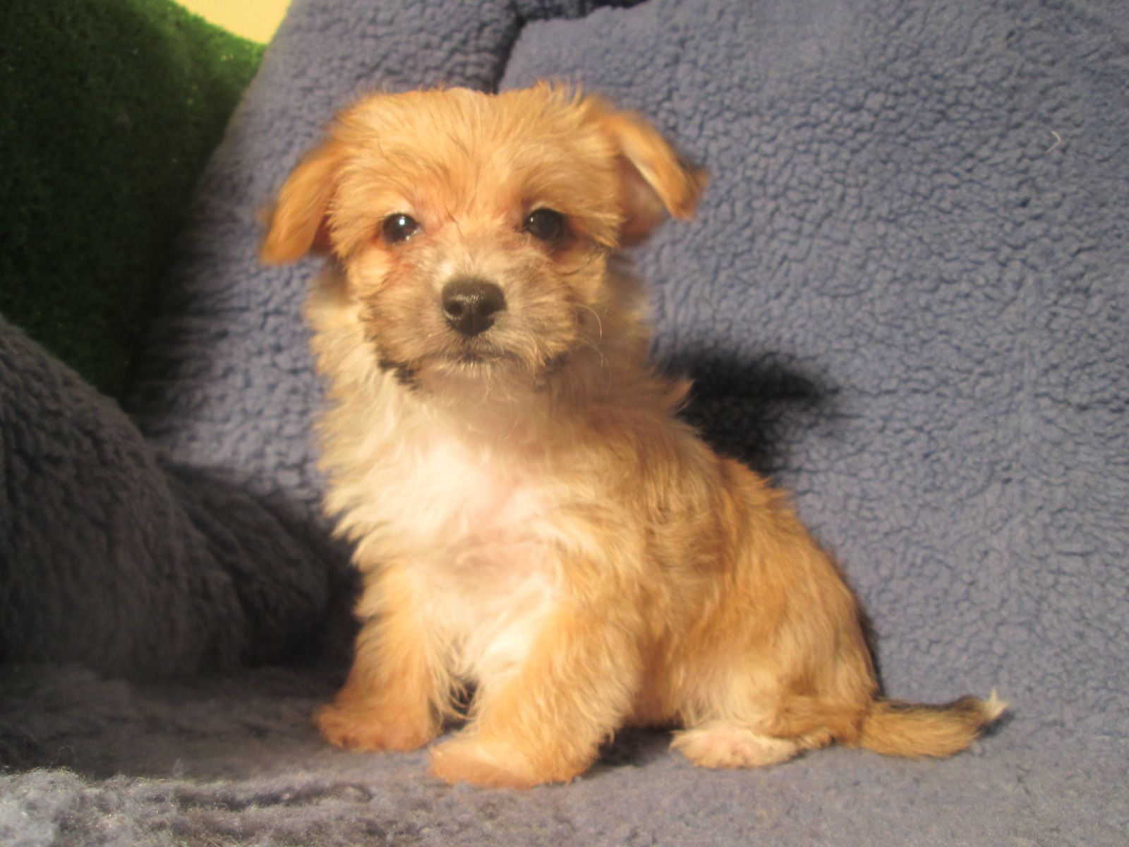 Adorable Yochon Puppies Available! (Yorkie x Bichon) *8