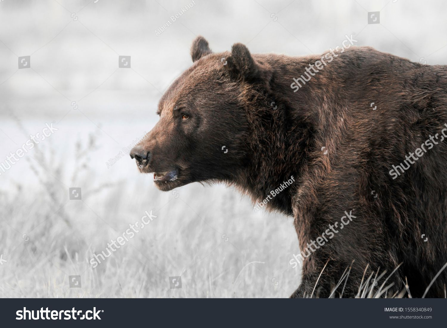 European Brown Bear Ursus Arctos Arctos In Front Of A Lake With Forest In The Background Wild Brown Bear Kuhmo Finland Scandinavia In 2020 Ursus Brown Bear Bear