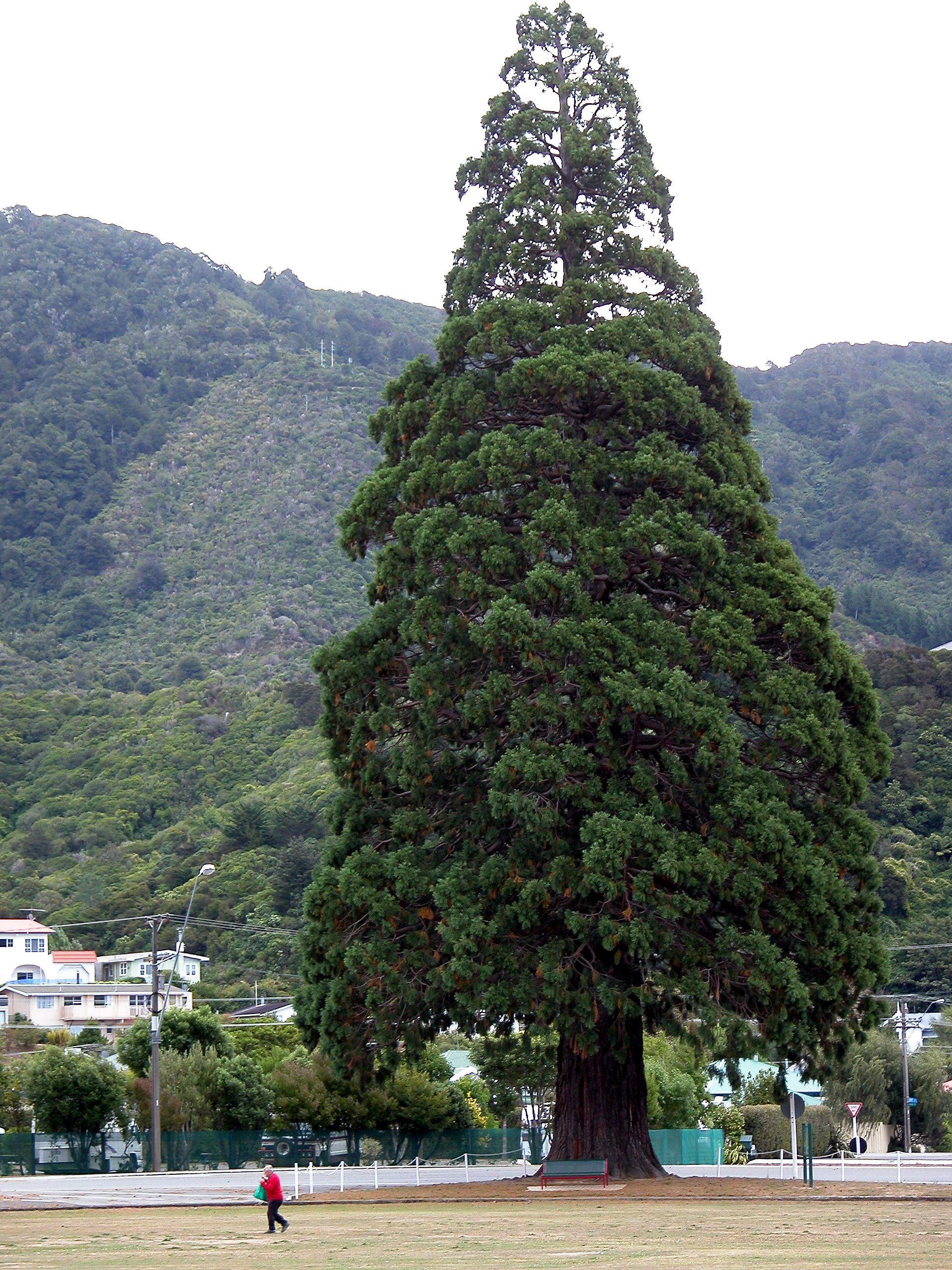 Giant Sequoia Sierra Redwood Or Wellingtonia Sequoiadendron Giganteum Tree Beautiful Tree Tree Sequoiadendron Giganteum