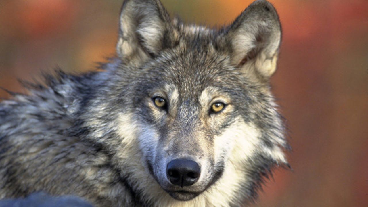 Documentary National Geographic - Worldwide Wolf of Life Rules - Discove.