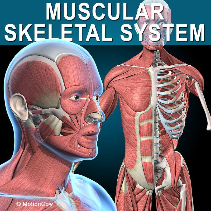 3d Human Vertebrae Skeleton Muscles Anatomy Model 3d Anatomy