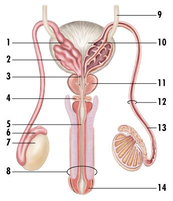 Male Reproductive System Front View Labeled View Labeled Image