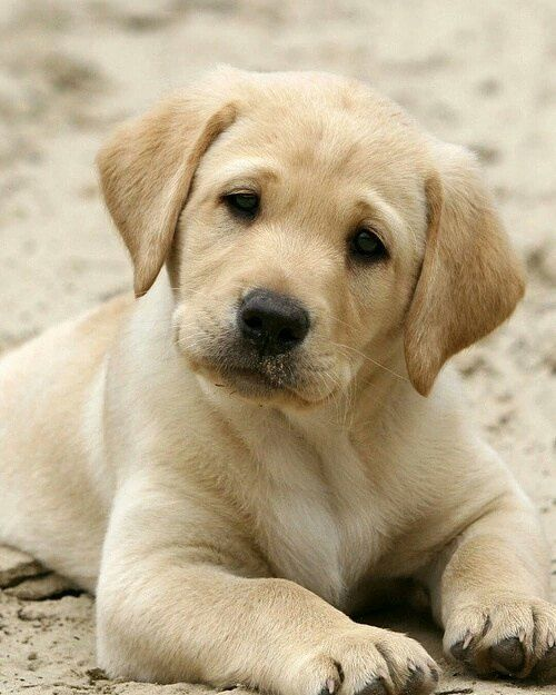 Labs On Big Barker Dog Beds Cute Labrador Puppies Retriever Puppy Best Dog Breeds