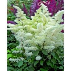 Astilbe - Rock and Roll