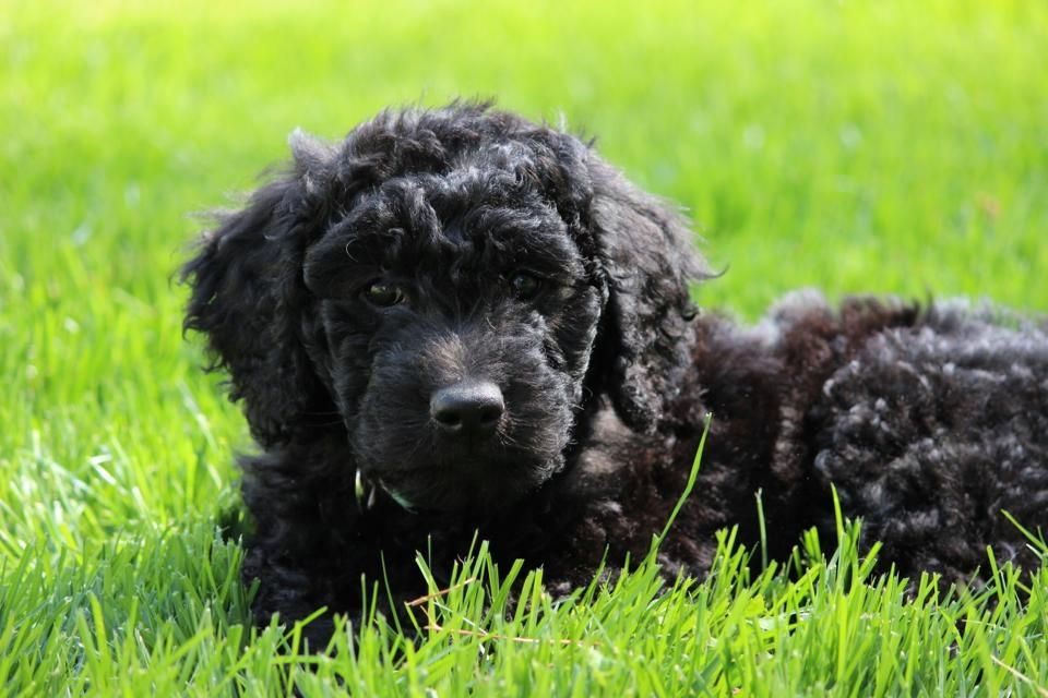 Newfoundland puppies for sale in michigan