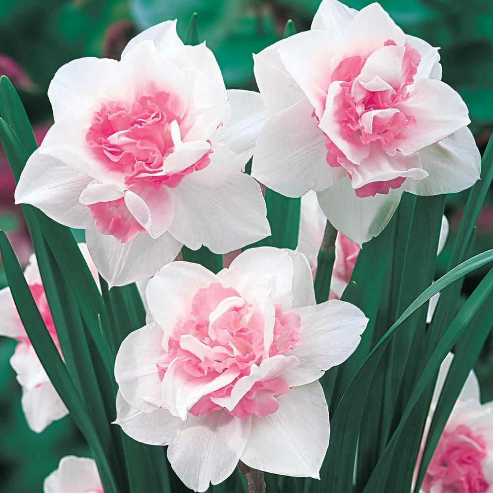 Van Bourgondien Replete Double Daffodil Bulbs 25Pack