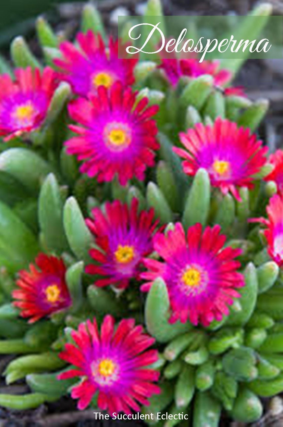 Delosperma Ice Plant Is The Best Succulent Ground Cover For So Many Reasons Colorful Loaded With Blooms Attracts Pollinators Re Plants Ice Plant Succulents