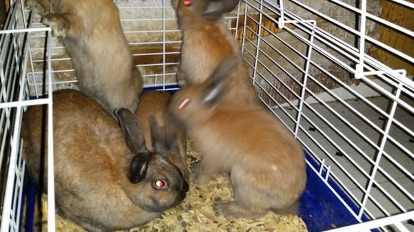 Post deleted DERBY, CT 4 FREE FEMALE RABBITS! MUST