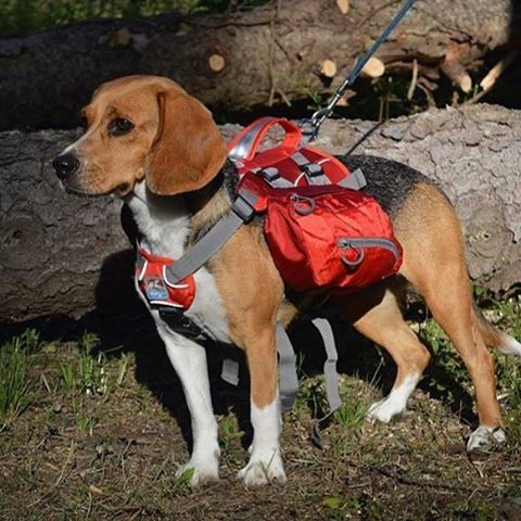 Cute Beagle With A Dog Backpack Instagram Picture By Homer
