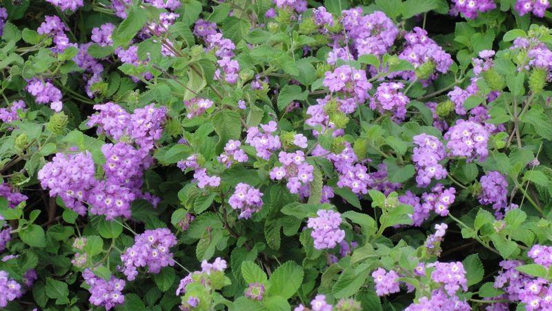 Flowers Lantana Montevidensis Aka Purple Trailing