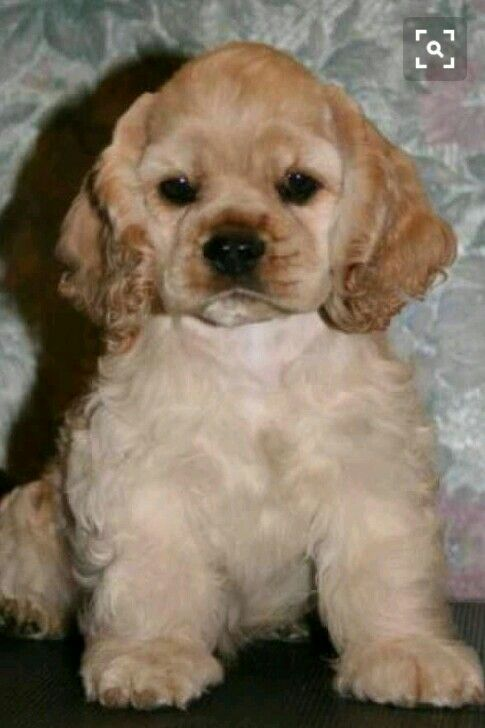 Cooker Cafe Cute Puppies Images Cute Puppies American Cocker Spaniel