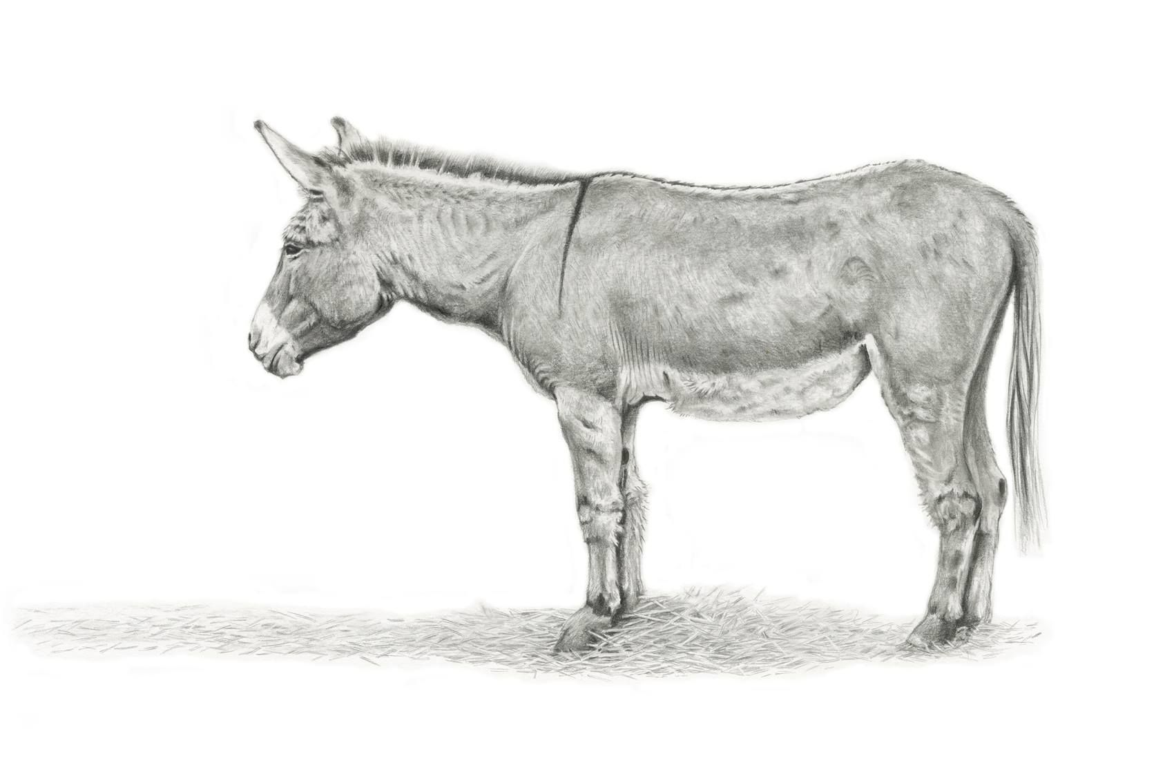 Donkey pencil drawing Drawings, Animals, Pencil drawings