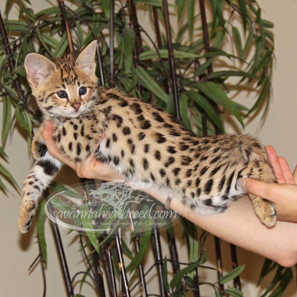 F1 Savannah Kittens For Sale Select Exotics Savannah Kitten