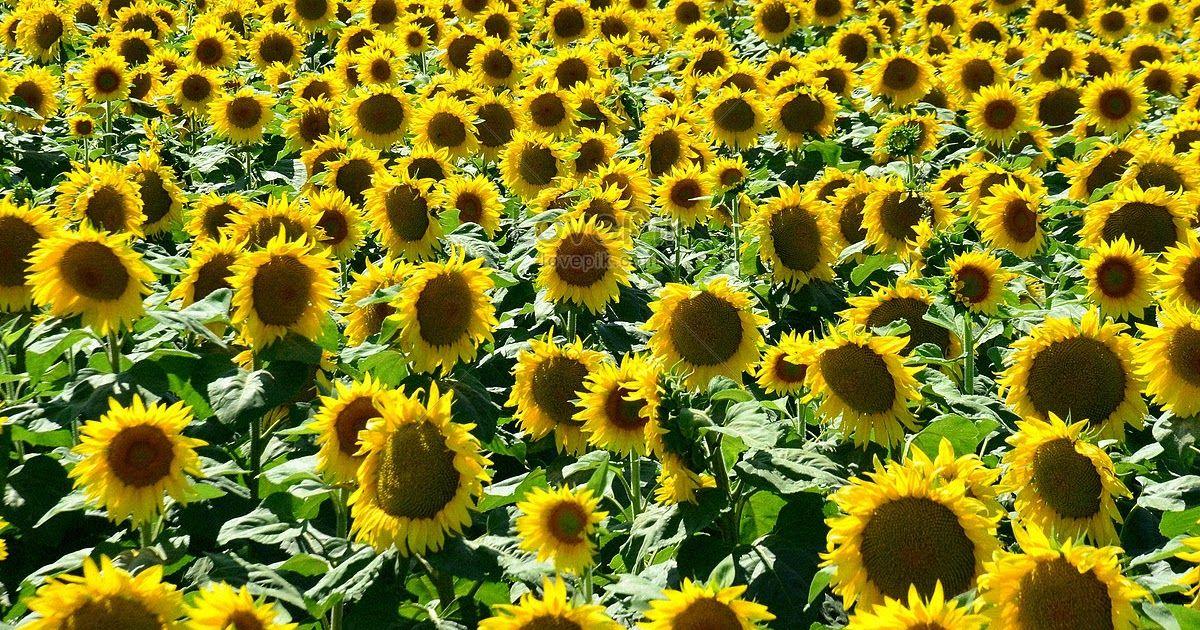 Wow 24 Bunga Matahari Mekar Bunga Matahari Mekar Gambar Unduh Gratis Foto Cara Mudah Mengeringkan Bunga Matahari Bibitbunga Com Di 2020 Bunga Mekar Bunga Matahari