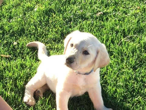 Litter Of 3 Labrador Retriever Puppies For Sale In Echo Or Adn 37805 On Puppyfinder Com Gender Male Age 7 Weeks O Labrador Labrador Retriever Labrador Mix