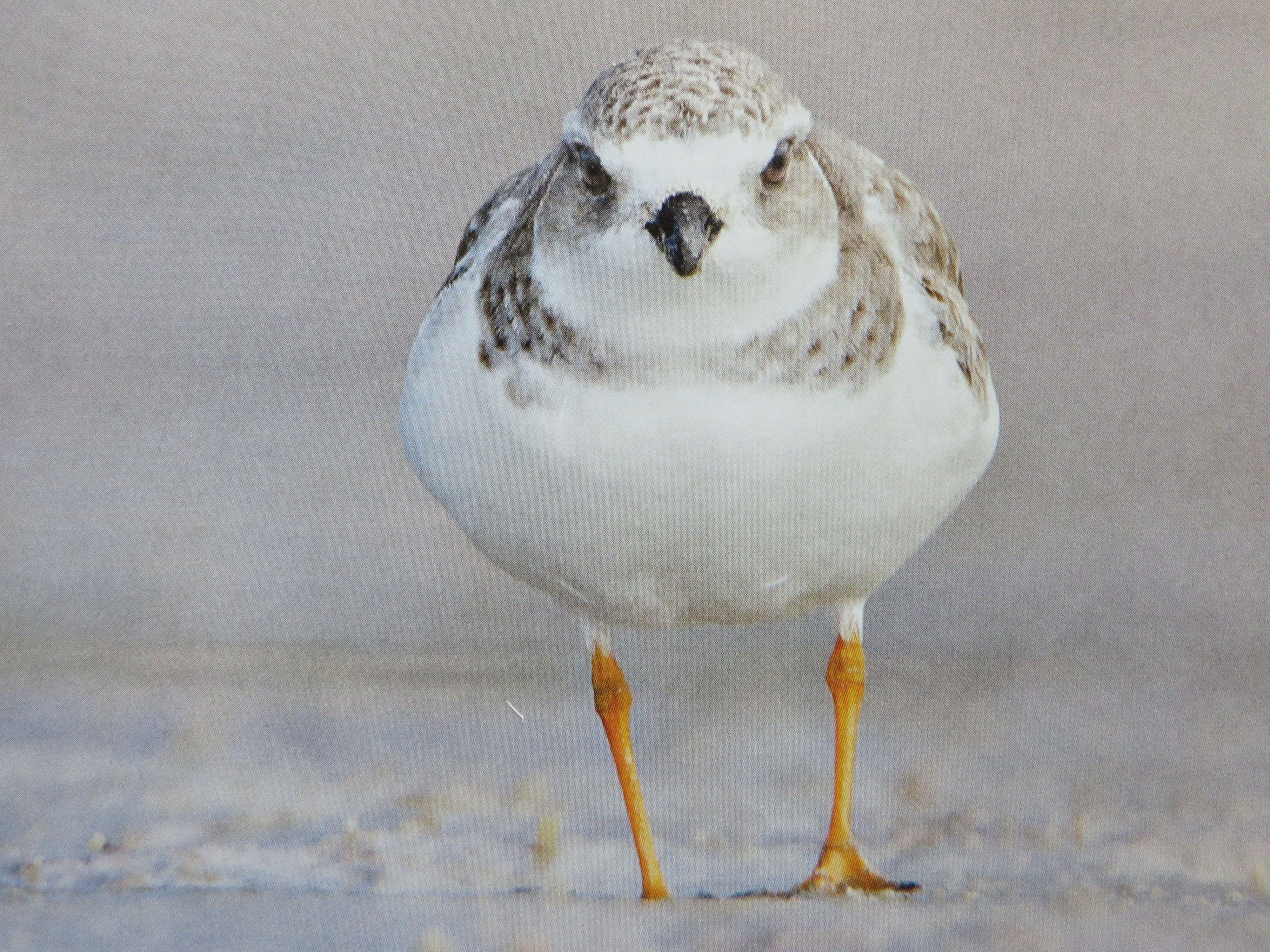 Piping Plover Bird species, Plover, Nueces county