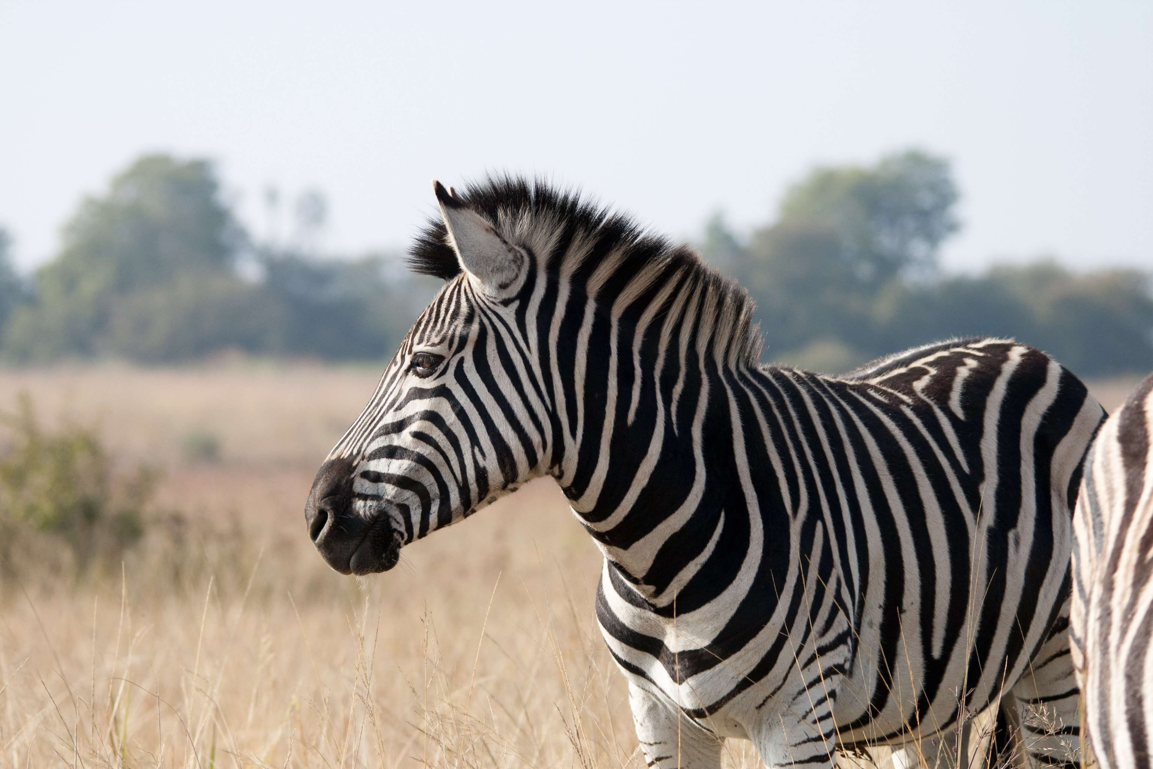 animal banded black game grass mammal nature striped veld
