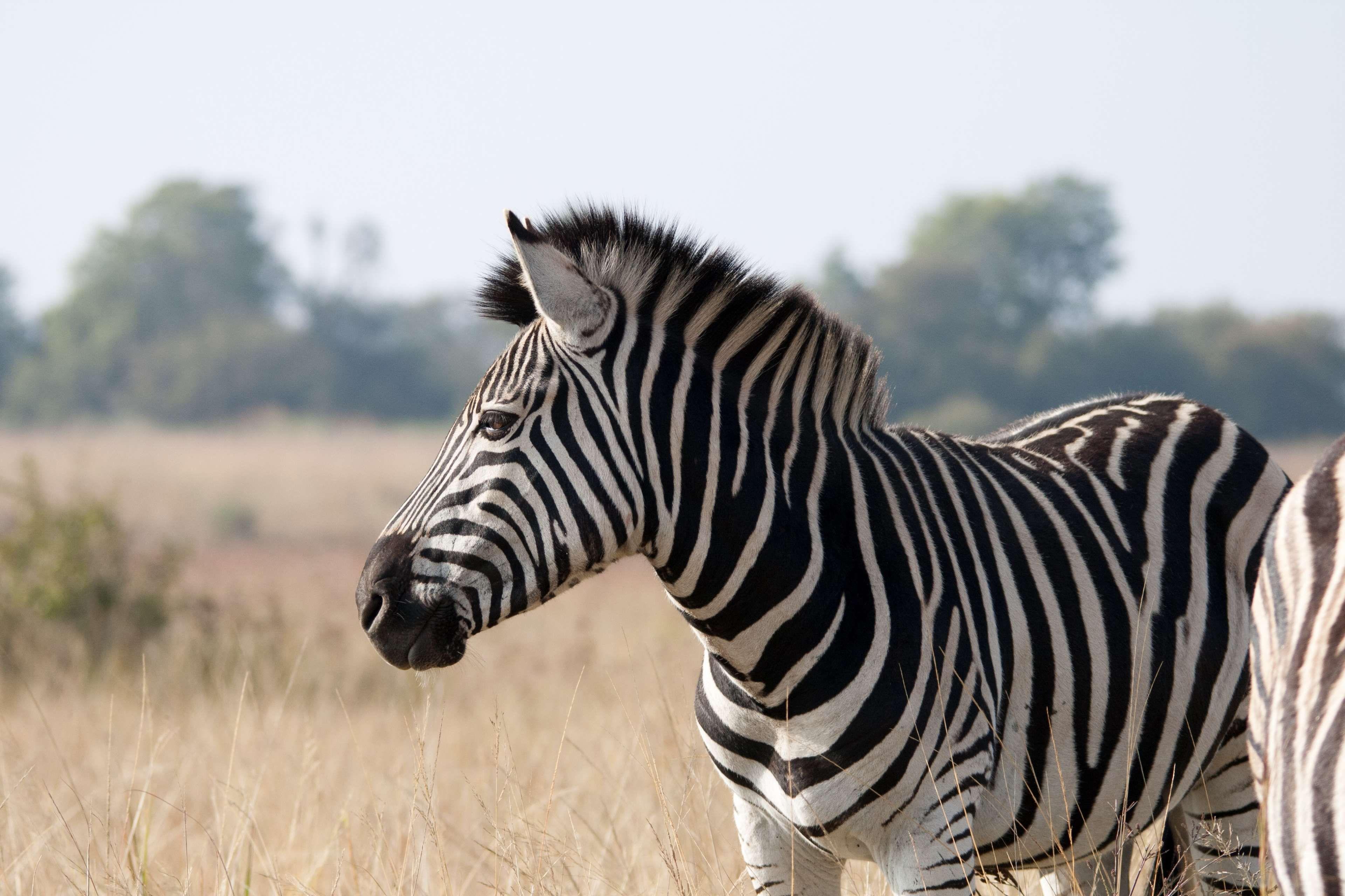 animal, banded, black, game, grass, mammal, nature