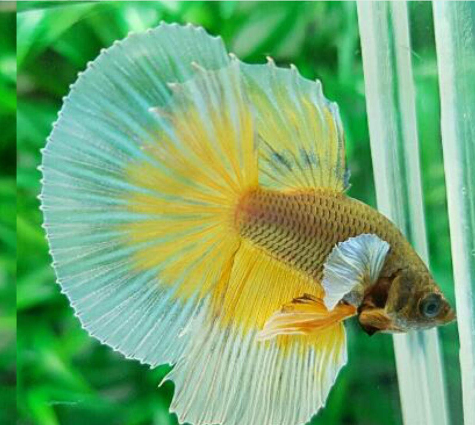 Pair male female dumbo ears halfmoon yellow white thay for Ebay betta fish