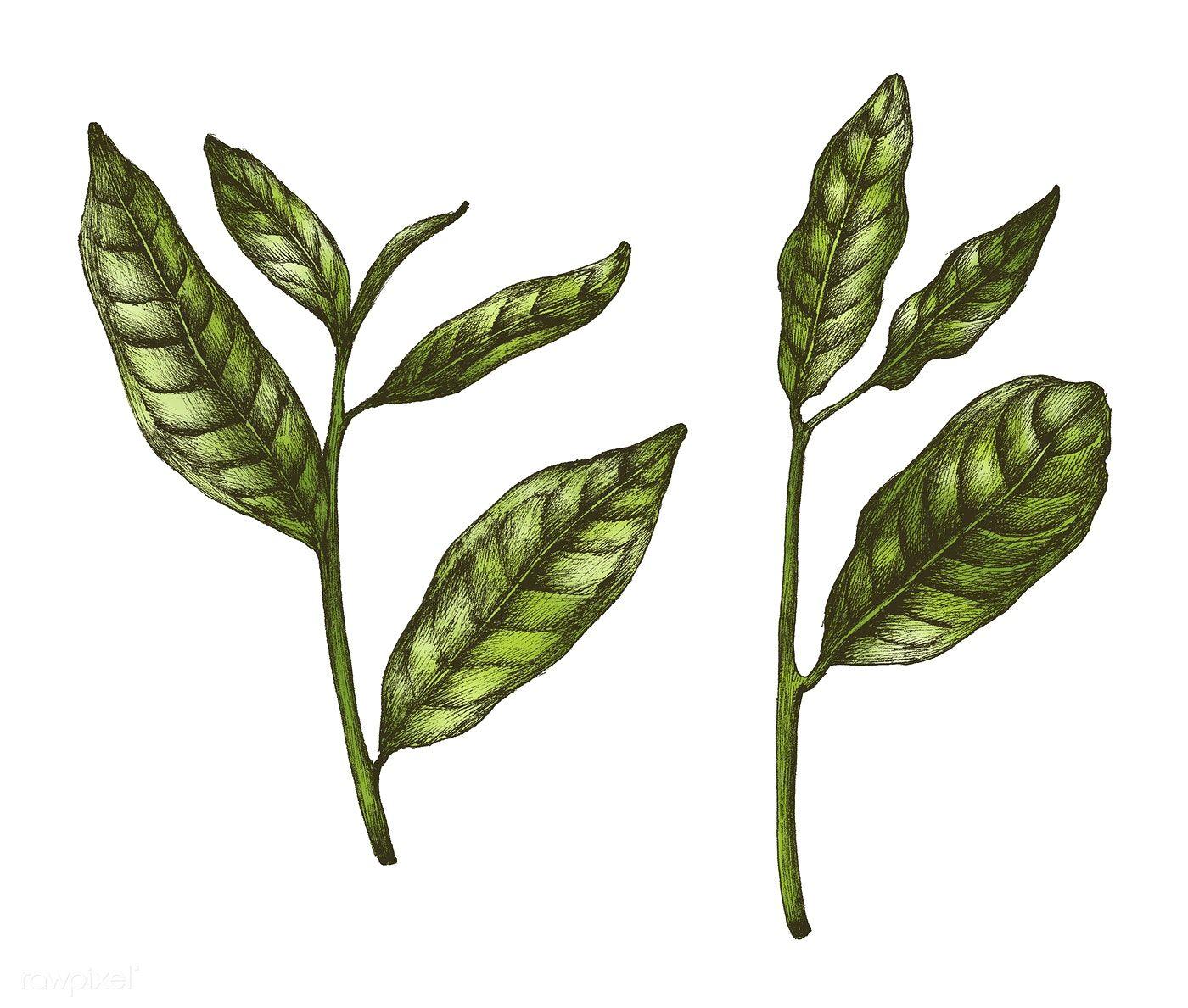 Hand Drawn Fresh Green Tea Leaf Free Image By Rawpixel Com Tea Leaves Tattoo Tea Leaves Illustration Tea Leaves