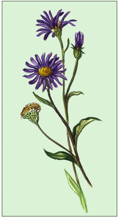 Pin By Colleen Heaton On Ideas Aster Flower Tattoos Aster Flower Flower Tattoos