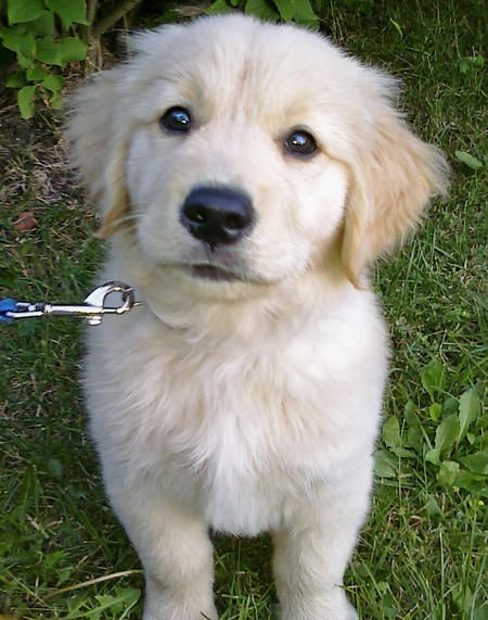 Thunder Is A Golden Retriever With A Personality To Match His Name