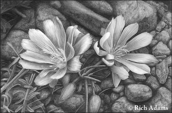 Pencil Sketches of Flowers   Bitterroot