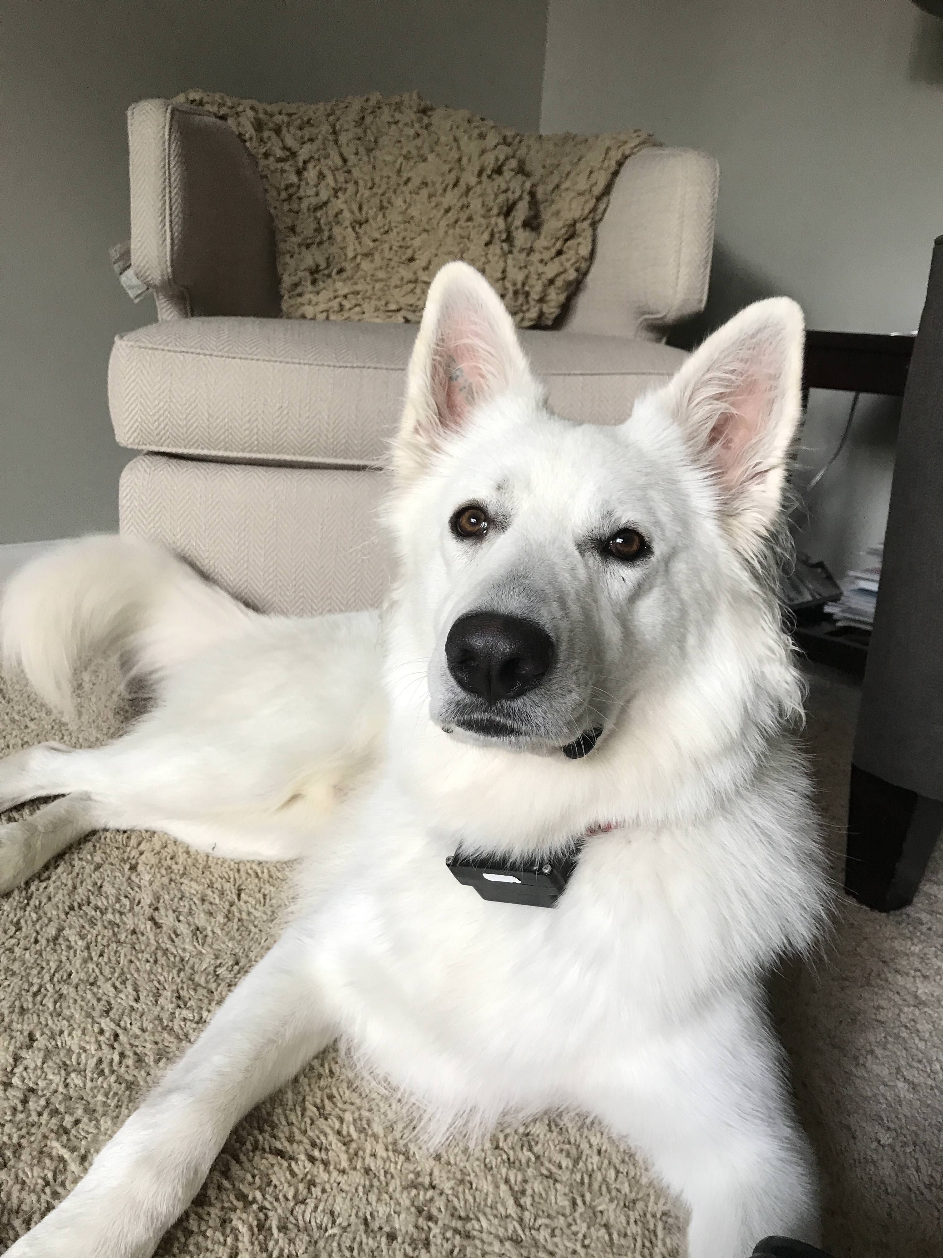 My Berger Blanc Suisse Has No Sub Of His Own Cans The Gsds Give