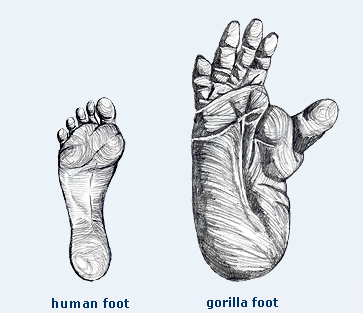 comparison of human and gorilla foot size. | wild animals theme, Skeleton