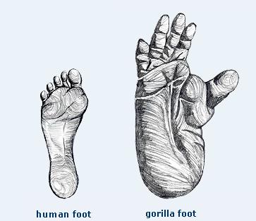 comparison of human and gorilla foot size. | wild animals theme, Skeleton