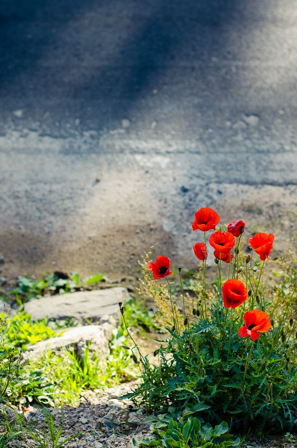 Photograph Last Poppy by Sim On on 500px