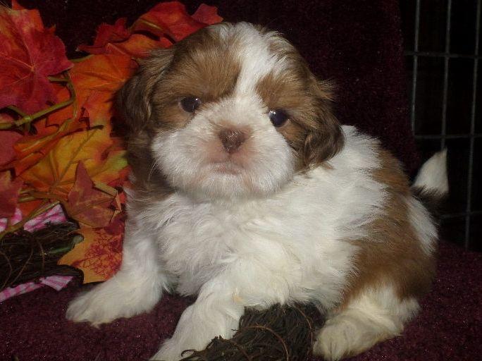 Liver Parti Puppy From Glory Ridge Shihtzu Therapy Dogs Shih Tzu Animals