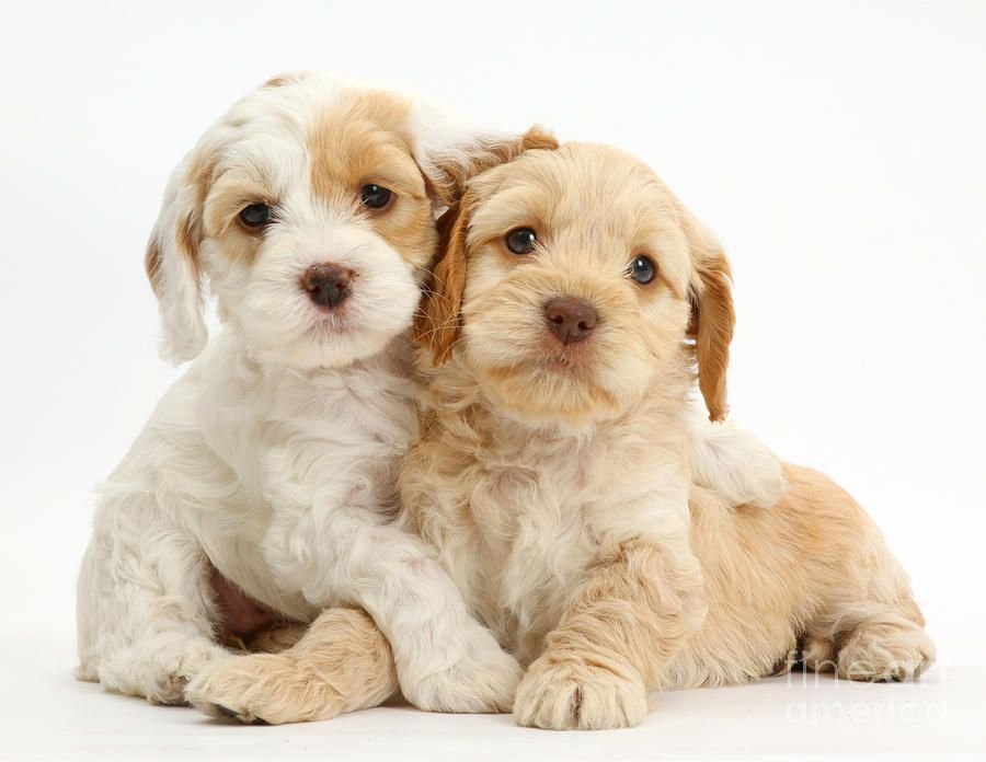 Cute Puppies! Cockapoo puppies, Cockapoo puppies for