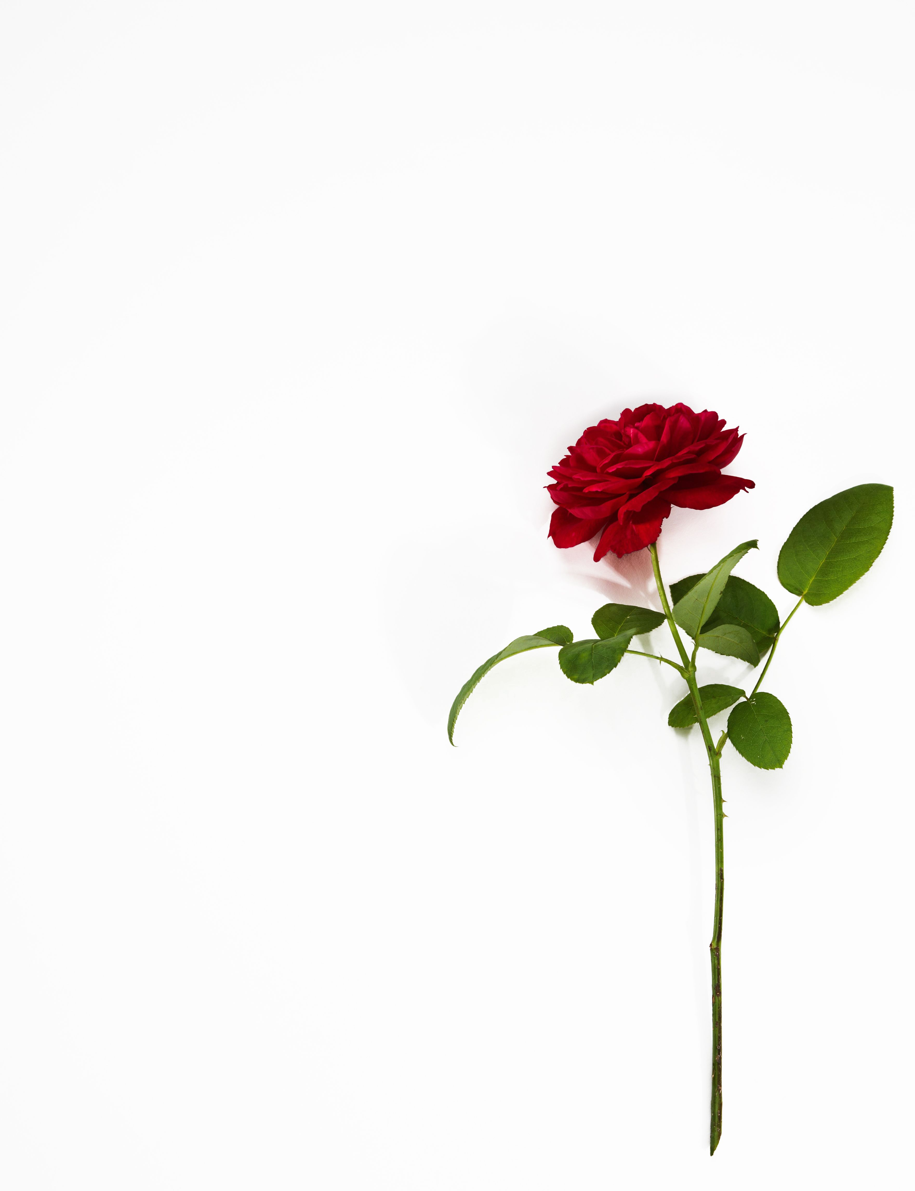 valentines day rose valentines day flowers in 2019 white
