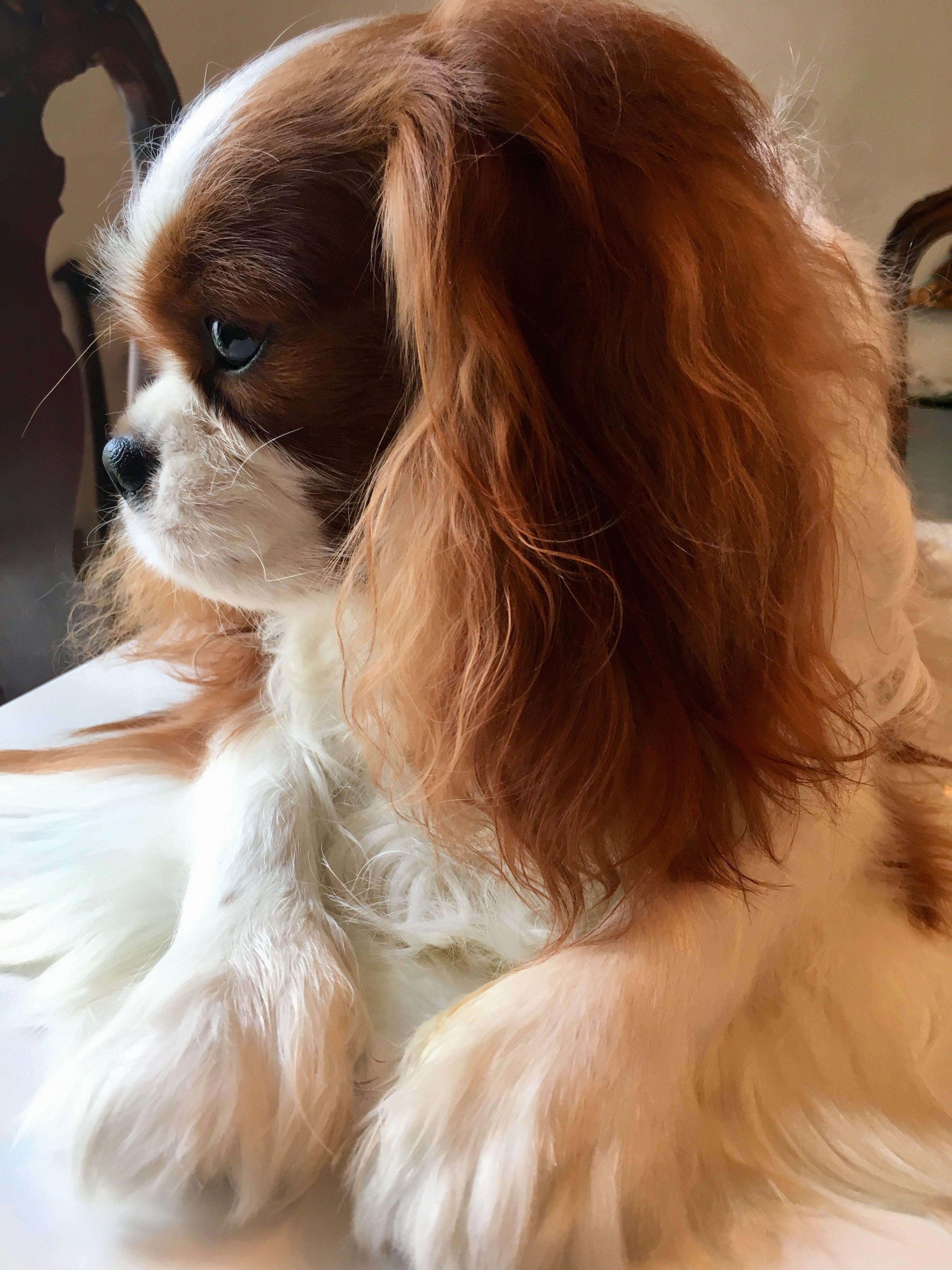 Pinterest catherinesullivan2017 King charles dog