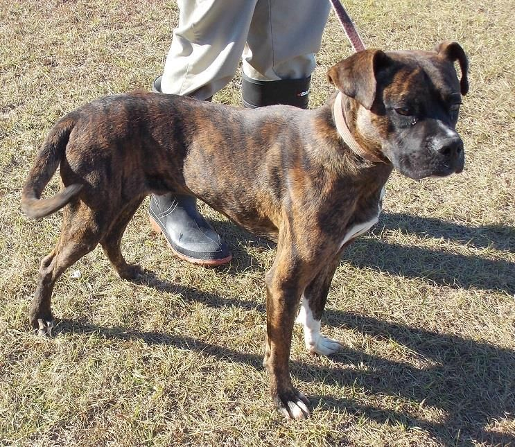 Fonz Is An Adult Male Boxer Mix Who Is Available For Adoption Now