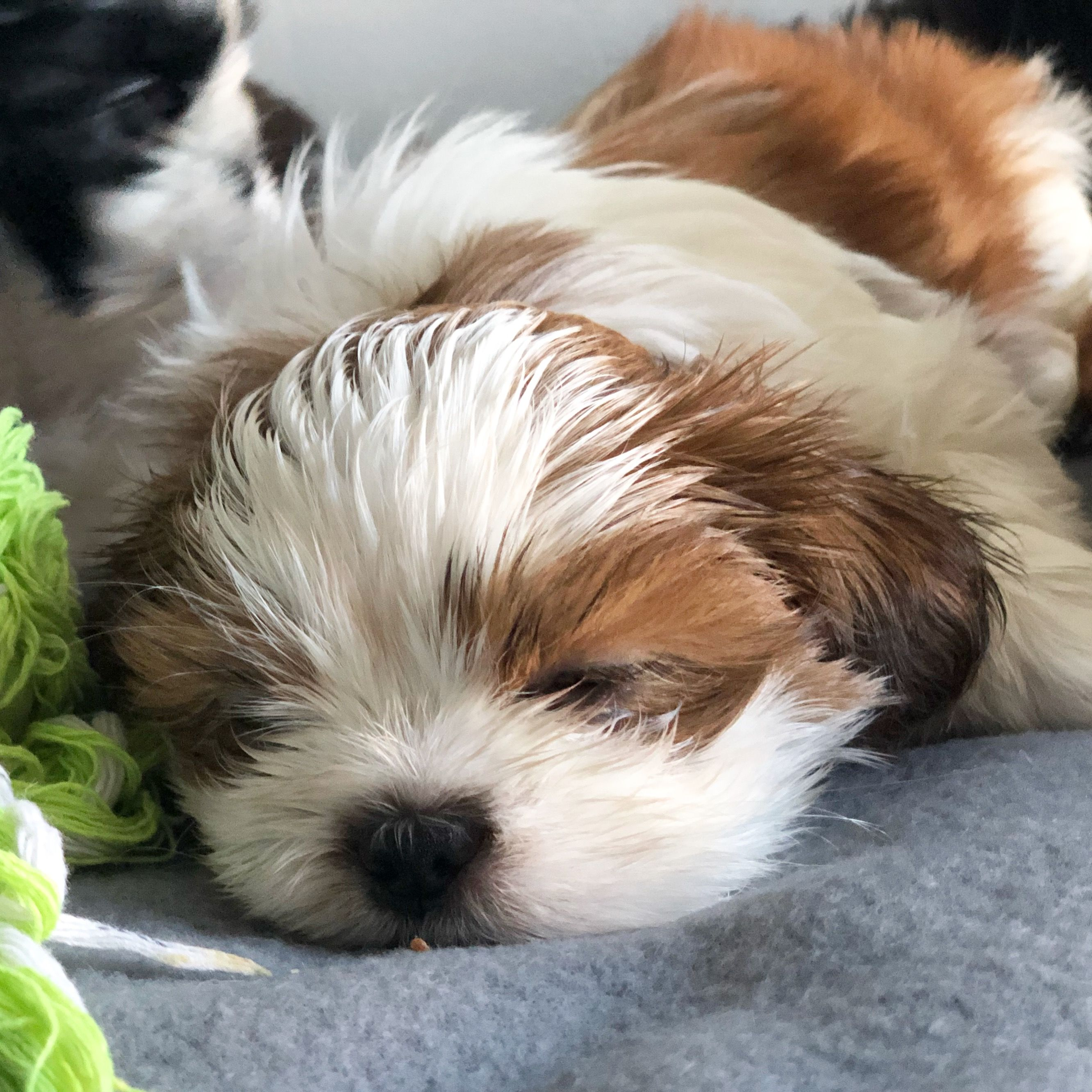 7 Weeks Old Brown And White Male Shih Tzu Foxiepup Shih Tzu