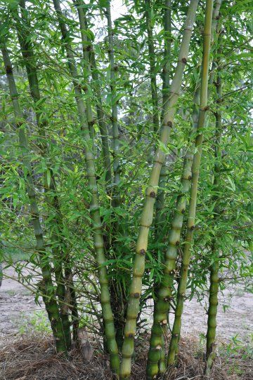 bamboo bambusa ventricosa