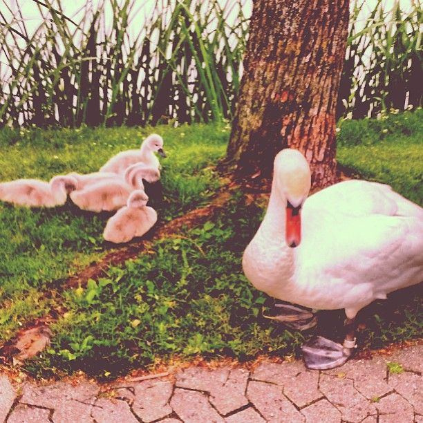 peteroxlund #swan #animal #sweet #hillerød #denmark #frederiksborgslot #slotssøen #friskluft #sommer #desødenuometparårkandebrækkedinarm